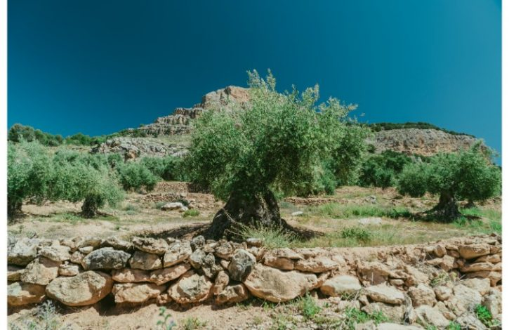 origen del mejor aceite de oliva virgen extra